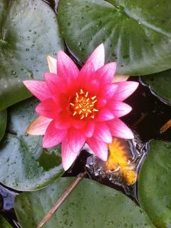 Fleur de Lotus - Castel d'Orquevaux