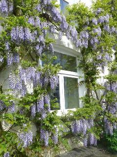 Wisteria on the South facing patio