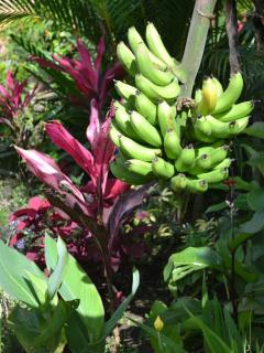 Bananas throughout gardens