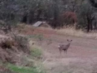 a frequent visitor.  I love the deer.
