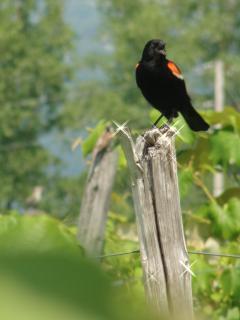 our resident blackbird