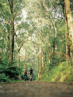 Stunning forest surrounding Healesville.