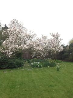 House garden with magnolia in bloom