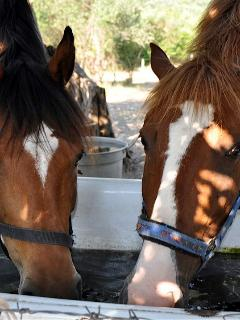THE HORSES :DAKOTA AND GINGER