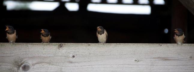aankondiging lente door de zwaluwen