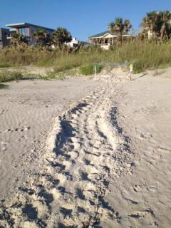 Turtle nest and tracks 150 steps from the cottage.