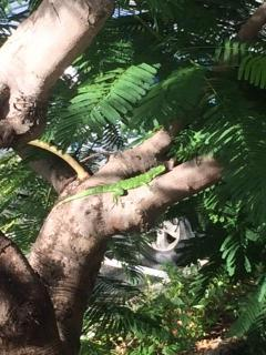 This young iguana was on the tree right outside our door. What a beautiful green color!