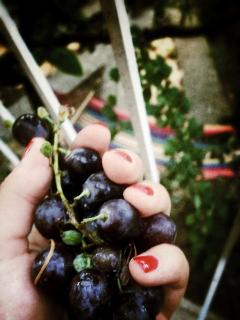 Grapes from the yard