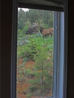 Elk spotted from Awestruck's window