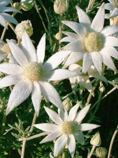 Our local Flannel flowers abound in spring