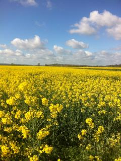 The rape fields on the way to Camber in spring