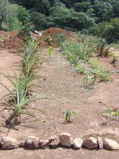 Pineapples growing on our hilltop farm.