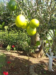 Pick fresh lemons daily!