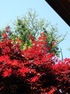 Red Maple tree at Rochester Vacation house