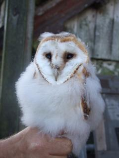 One of our many Barn Owl chicks!