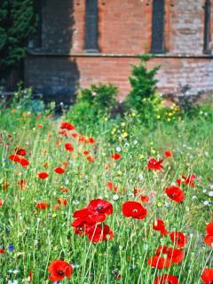 Village poppies