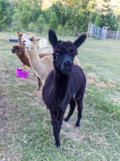 Friendly alpacas to feed