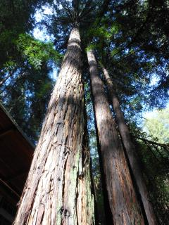 Views of soaring redwood trees