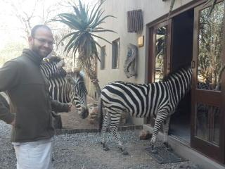 Zebras knocking on the front door of the lodge