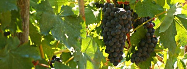 our grapes just before harvest