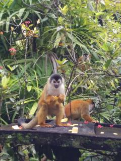 monkeys in Zancudo