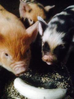 You will fall in love with our delightful Kune Kune pigs