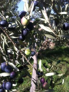 The surrounding hills are covered with olive groves - pickers welcomed in the Fall!