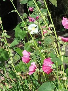 Hollyhocks seen around town in the summer