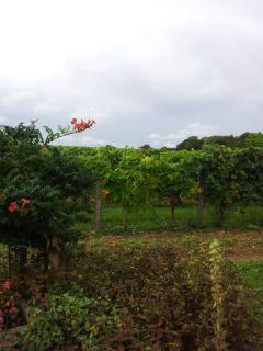 vineyard next to house