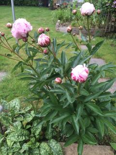 Peonies by garden table - in season!
