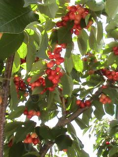 Fantastic crop of cherries
