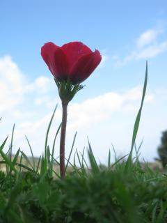 anemone, the red color