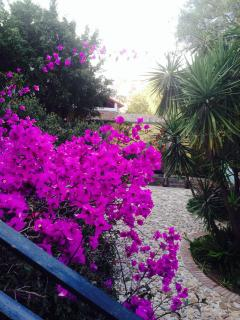 The ever-blossoming bougainvillea