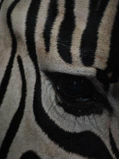 No two zebra faces are the same
