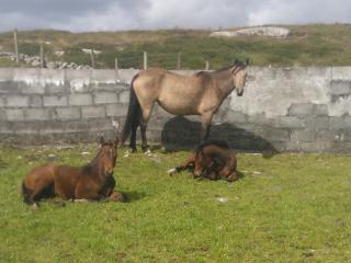 Connemara pony's