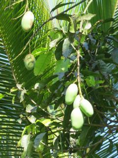Mango tree in our garden