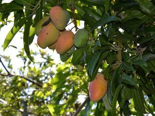 Selon la saison, les fruits du jardin sont à disposition (mangues, goyaves...) - Help yourself !