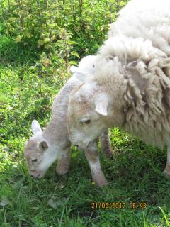 Free range sheep & lambs roam the forest in spring