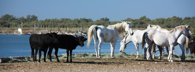 The famous Carmargue horses living alongside the bulls