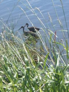 Wildlife on Lake Toho, Kissimmee