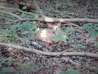 baby deer in late spring