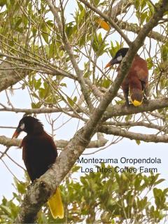 Oropendola birds