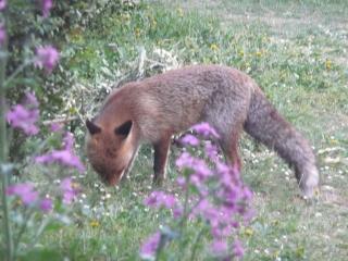 fox near the main house in March