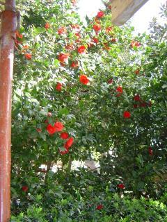 Red kamelia in bloom