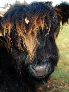 Meet Isobel, one of our Highland Cows!