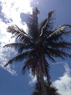 Coconut Palm in front yard, the property boast 14 palm trees and great natural vegitation