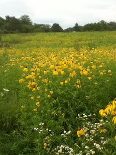 The lemony fragrance of yellow coneflowers is best experienced first hand.