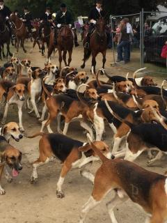 Carrouges a courre hunting feast ( 1 we of august) 50 000 visitors ....