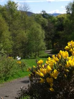 Caerlee with the gorse in full bloom