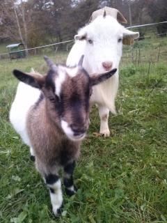 Lucky et Suzy : petites chèvre malicieuses !